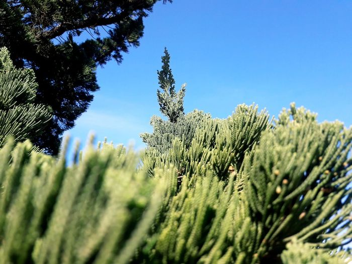 Blue sky Tree Clear Sky Pinaceae Pine Tree Blue Sky Close-up Green Color Plant