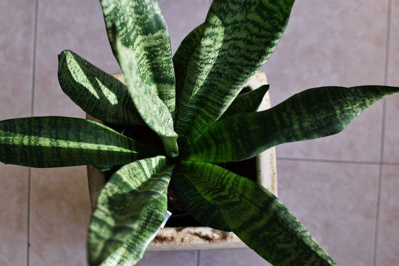 High angle view of potted snake plant on floor.