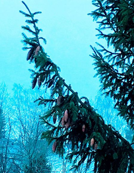 'The Pine-trees' Tree Low Angle View Blue Nature Growth Branch No People Beauty In Nature Sky Day Outdoors Urbex Eyeem UrbanNature✨ Oslo By Night InTheNow Collection Oslo2017 Neighbors 2Pines Urban Skyline Urbanization Winterhascome KariJosefiné✨