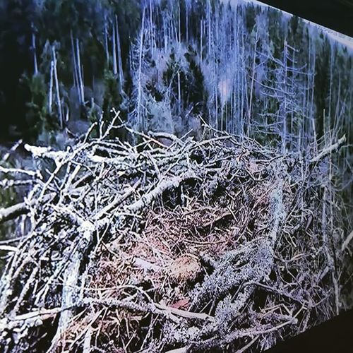Streaming the Estonian Osprey cam to the living room TV, thanks to the excellent Fire TV Miracast feature. Ilmar 's-Nest Osprey  J3 BirdCam