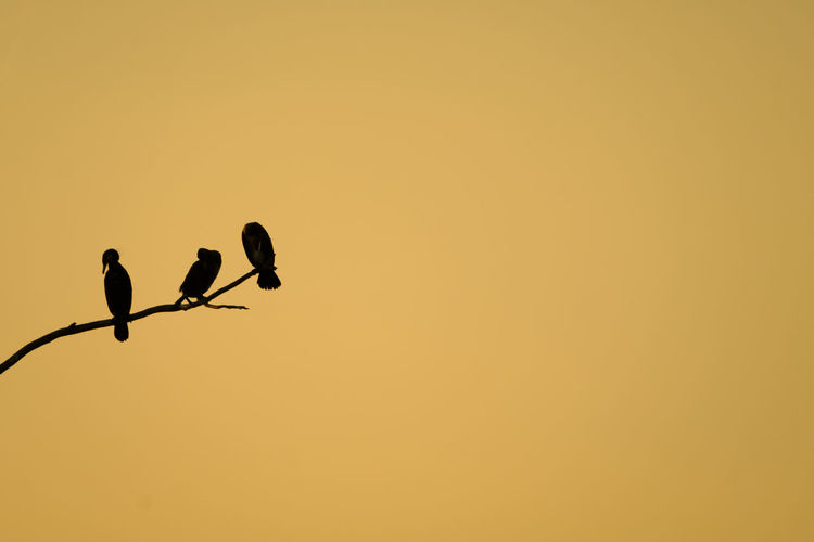 In Conversation Empty Space Great Cormorant Animal Themes Beauty In Nature Bird Clear Sky Conversation Conversations Day Golden Hour Nature No People Outdoors Perching Silhouette Sunset