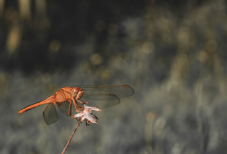 Close-up of dragonfly flying against blurred background