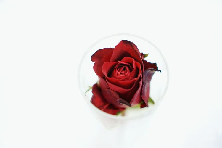 Red roses on white background. Rose - Flower Bouquet Studio Shot Flower Head Beauty In Nature Rose Petals Peony  Indoors  No People Freshness Food Nature Fragility Close-up Flower Red Petal White Background Day