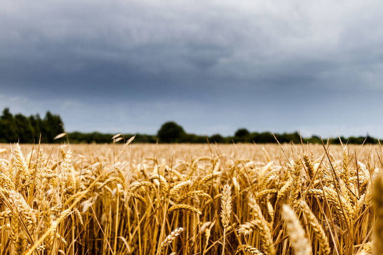 Wheat field of gold contrasted against dark sky