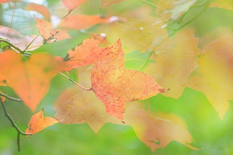 嫵媚 楓香林 Maple 大棠