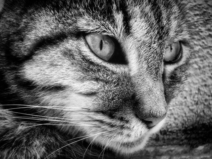 feline eye Cat
