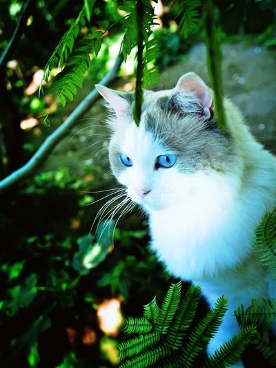 Cats Katze Cat In The Greenery Morning Light Ragdoll Chat In The Garden Relaxed Cat Cat In The Nature Fluffy Cat