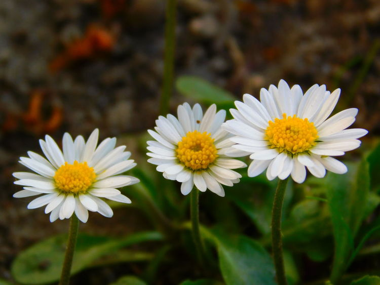 Some Day Beauty In Nature Blooming Close-up Day Flower Flower Head Fragility Freshness Growth Nature No People Outdoors Petal Plant White Color Yellow