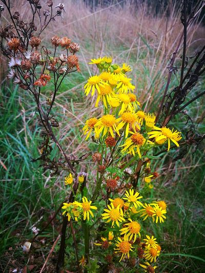 Plants Flower Yellow Fragility Beauty In Nature Field Autumniscoming Lifeanddeath EyeEm Nature Day Fall Colors Mobilephotography England 🌹 TakenwithhuwaeiP9 Caversham FreshonEyeem