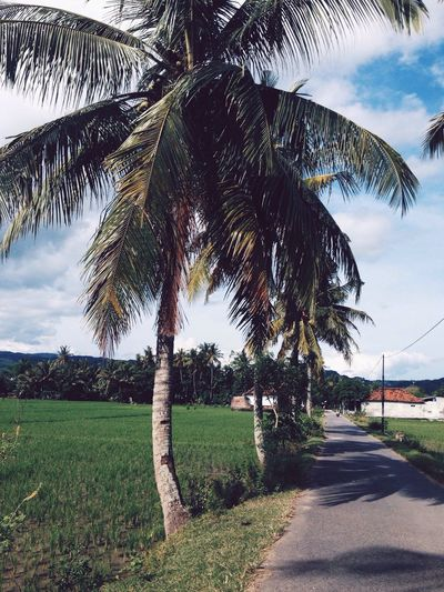 Palm Trees Road INDONESIA ASIA Rice Field