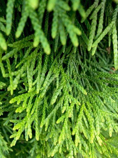 Thuja Focus Green Best EyeEm Shot