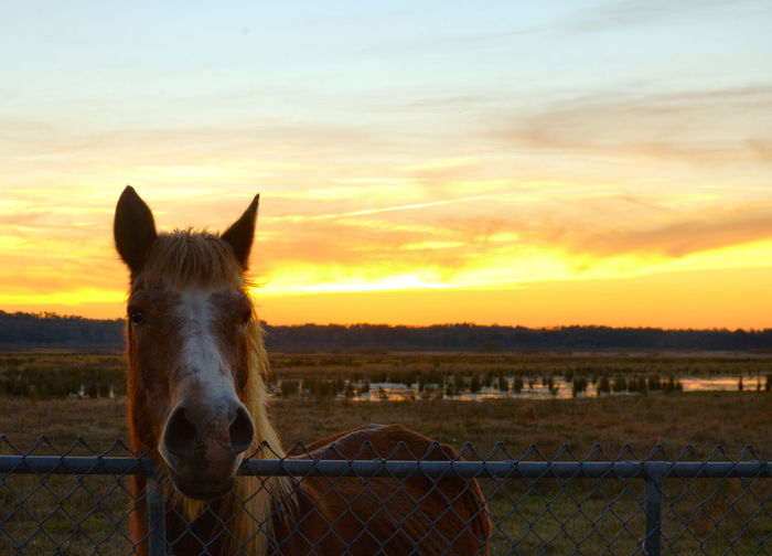 Horse on field against sky during sunset