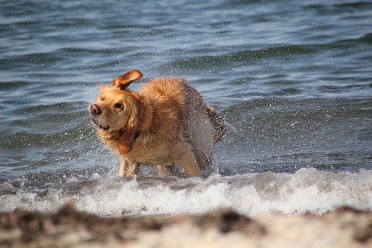 EyeEm Best Shots EyeEmNewHere Golden Retriever Golden Retriever In The Water Animal Animal Themes Beach Best Friend Day Dog Domestic Domestic Animals Funny Animal Funny Dog Mammal Motion Nature No People One Animal Pets Sea Water Wet Wet Hair