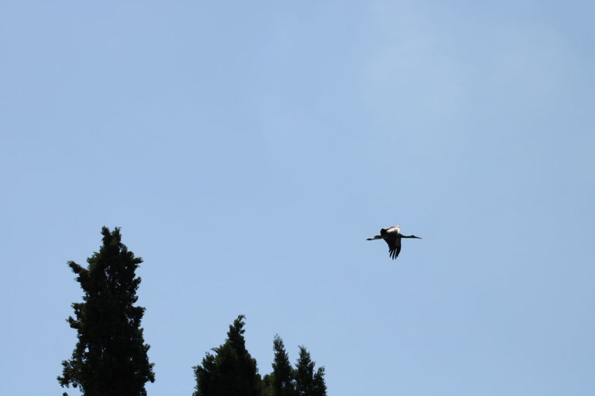 Clear Sky Low Angle View White Stork Bird Day Flying Mid-air Nature No People Outdoors Sky Spread Wings Stork Young Stork