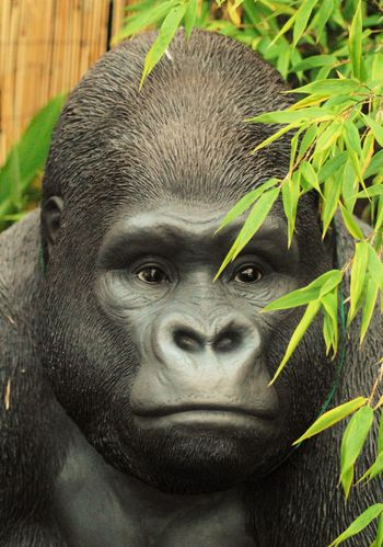 Close-up Day Green Color Infant Looking At Camera Outdoors Silverback Gorilla
