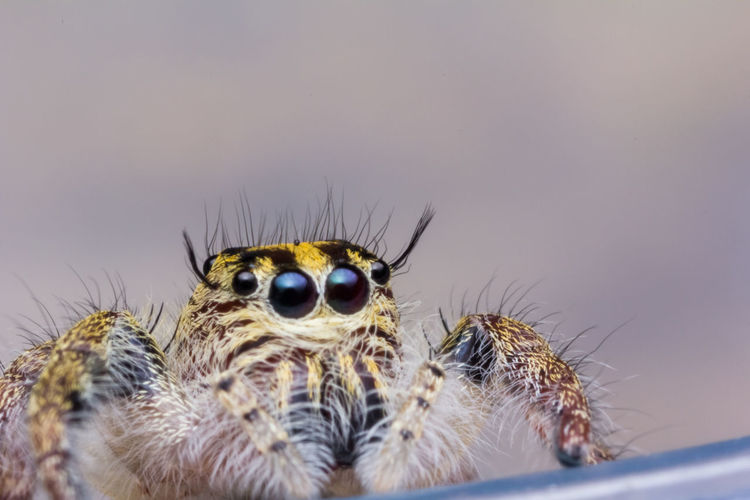 jumping spider in nature Hyllus Hyllus Sp Salticidae Predator Jumper Creepy Jump Jungle Phobia Fauna Scary Insect Cute Outdoor Colorful Hairy  Beautiful Beauty Attractive Leaf EyeEm Best Shots Wild Animal Spider Arachnid