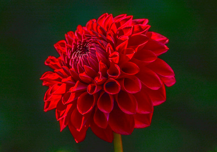 Close-up of red dahlia flower