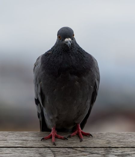 This pigeon showed up as I was testing my new 70-200 lens and wanted me to make some portraits :) City Life Sitting Bird Citybirds Close-up Focus On Foreground Nature No People One Animal Outdoors Pigeon Wildlife