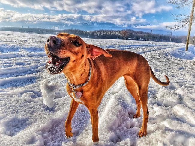 Nesta funny face Domestic Animals Dogs Dog Love Dogs Of EyeEm Dog Love Dogslife Doggie Love Rhodesian Ridgeback Rhodesian Ridgeback Ridgeback Funny FUNNY ANIMALS Funny Moments Funny Pics