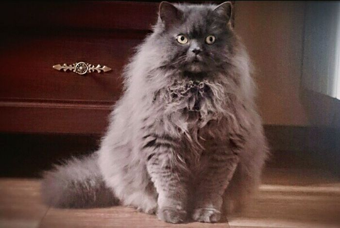 One Animal Pets Domestic Cat Close-up Persian Cat  Photography Moment Waiting Cat Cat Lovers Cat Photography My Love Cat♡ Fluffy Love Fluffy Grey Paws Of A Cat Beautiful Myhappiness💘