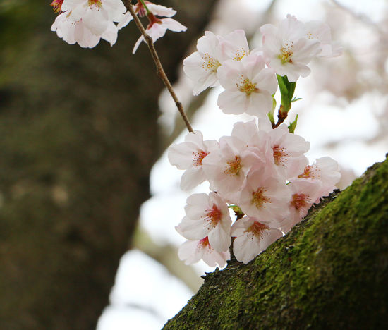 Beauty In Nature Bird Branch Cherryblossom Close-up Cute Japan Japan Photography Nature No People Outdoors Pink Flower Sakura Sakura Blossom Spring Springtime Tree ピンク 桜 鳥