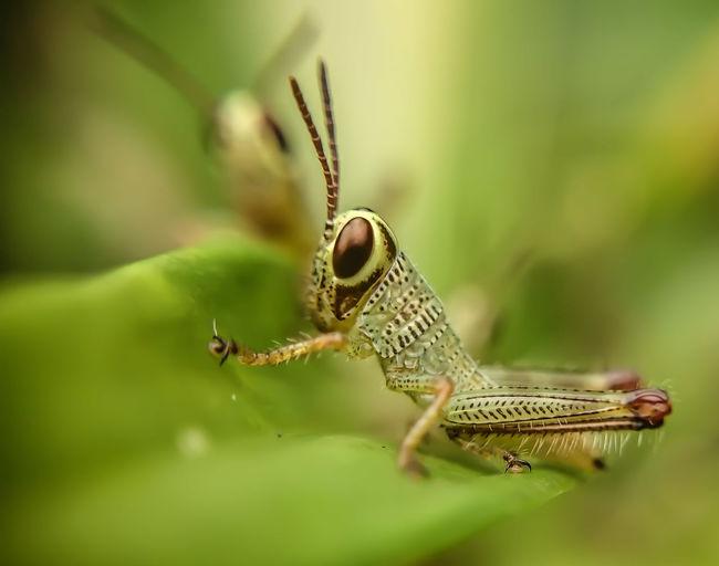 Macro Baby Hopper Insect EyeEm Philippines