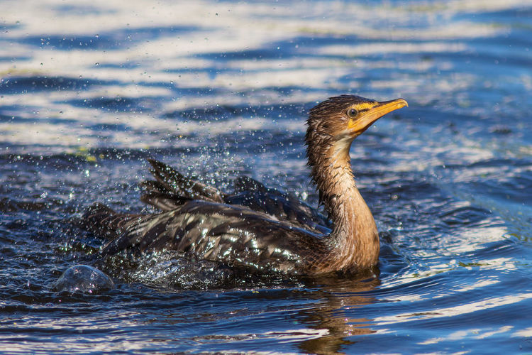 Bank cormorant having an early morning splash Animal Themes Animal Wildlife Animals In The Wild Bank Cormorant Beauty In Nature Bird Close-up Cormorant  Day Lake Nature No People One Animal Outdoors Splashing Swimming Water Young Bird