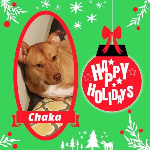 Happy Holidays from Chaka Happyholiday #Labrador Doglover Pets