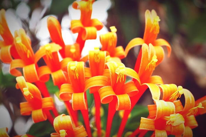 Orange trumpet flower Flower Collection Flowers,Plants & Garden Flower Photography Flower Nature Photography Nature Broomfield Fresh Flowers, Nature And Beauty Flowers Pyrostegia Venusta Orange Trumpet Flowers Orange Color Orange Flower Plant