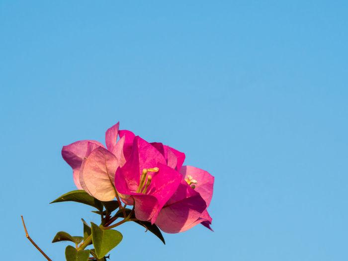 Close-up of pink rose against blue sky
