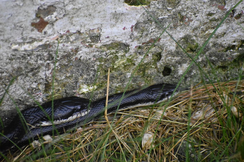 Black Rat Snake Couple Mating Pantherophis Obsoletus Animal Animal Themes Animal Wildlife Animals In The Wild Close-up Day Fish Grass High Angle View Nature No People One Animal Outdoors Pair Plant Rock Rock - Object Solid Two Snakes Vertebrate Water
