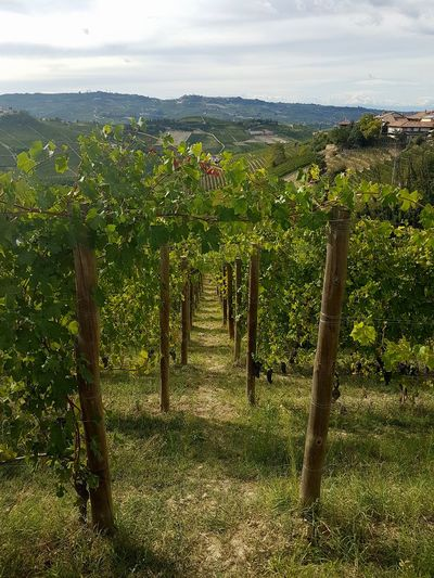 Growth Agriculture Outdoors Vineyard Field No People Grape Rural Scene Nature Sky Day Tree Vine - Plant Piedmont Italy Langhe Vineyard Cultivation Freshness Agriculture