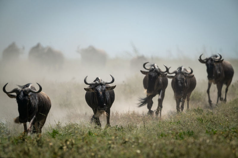 Wildebeests running on field