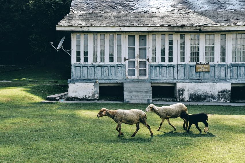 The Traveler - 2018 EyeEm Awards Animal Animal Themes Architecture Building Exterior Built Structure Day Domestic Domestic Animals Field Grass Green Color Group Of Animals Herbivorous Land Livestock Mammal Nature No People Outdoors Pets Plant Vertebrate