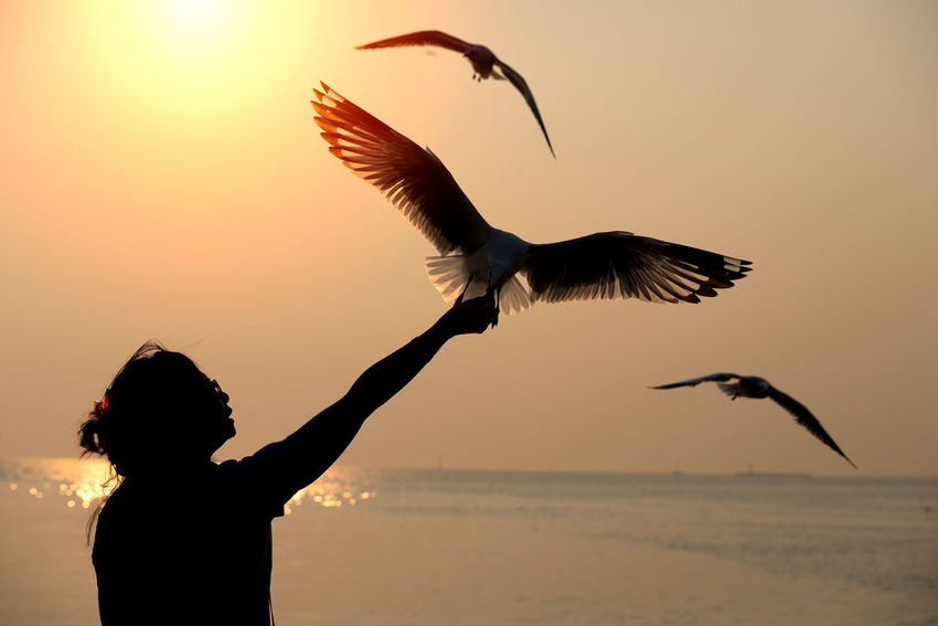 Silhouette of seagull flying and eat food from wohan hand at Bangpu, Thailand Fly Freedom Nature Relationship Al Animals In The Wild Beauty In Nature Bird Birds Day Flying Horiontal Nature Outdoors People Relaxation Scenics Seagull Silhouette Sky Spread Wings Sun Sunset Vacation Women