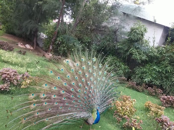Peacock Peacock Feather Peacockphotos Peacockpride Peacock Colors Peaceful Evening Peacock Pleasures Peacocks And The Castle Peacock Portrait Peacock Dancing Click Click 📷📷📷 Clicked From Phone Clicking Randomly ClickedByMe Ahemadabad Gujarat India Travel Trip..