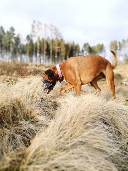 Boxer Boxer Dog Searching Walkingthedog Dogs Life Scenics Warmlight Drygrass Pets Dog Full Length Sand Animal Themes Sky Grass Animal Tongue Boxer - Dog Canine Purebred Dog Pet Collar Sticking Out Tongue