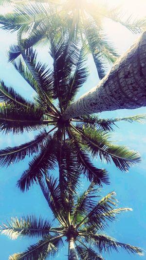 Hamilton island paradise Palm Tree Hamilton Island Paradise Queensland Australia