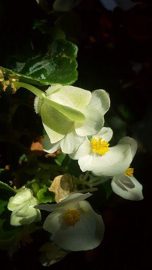 Flowerlover Prizrenkosovo Colour Of Life Focus Flowerlovers🌷🌷🌷 PhonePhotography Love To Take Photos ❤ White Flower Formorephotosfolowme Flower Sunlight Closeshot Nofilter#noedit