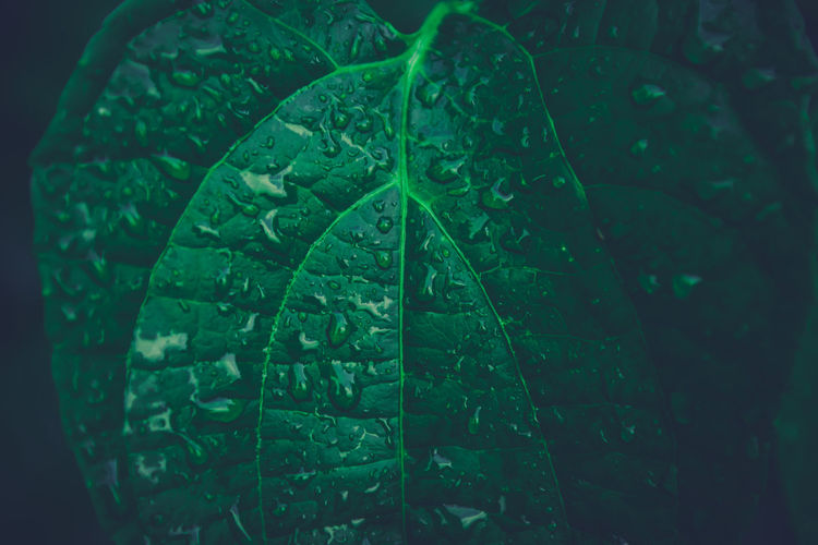Water drops on Sacha Inchi green leaves, Dark tone Beauty In Nature Close-up Day Dew Drop Freshness Green Color Growth Leaf Leaf Vein Leaves Natural Pattern Nature No People Outdoors Plant Plant Part Purity Rain RainDrop Rainy Season Tranquility Water Wet