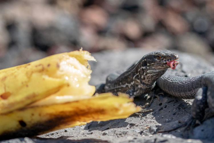 Wall lizard with a curling tongue eating a discarded banana with volcanic landscape rock in backgrou