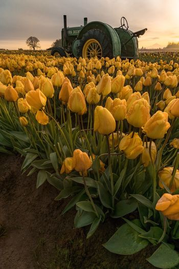Tulips! Flower Field Growth Beauty In Nature Nature Outdoors Freshness Agriculture Plant Rural Scene Petal Day Flower Head Sunflower No People Sky Blooming Fragility Close-up
