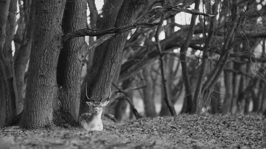 Looking At Camera Monochrome Blackandwhite Deer Moments Deer Tree Tree Trunk Nature Growth Animal Themes Day Outdoors One Animal Mammal Forest Animals In The Wild No People Landscape Beauty In Nature B&W Magic