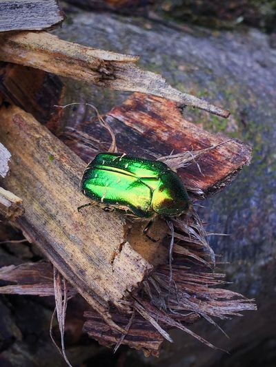 Animal Themes Animals In The Wild Insect One Animal Wood - Material Nature No People Close-up Animal Wildlife Day Outdoors Greenpetrol ScarabScarab Scarab Beetle Scarabé Scarabeo Time