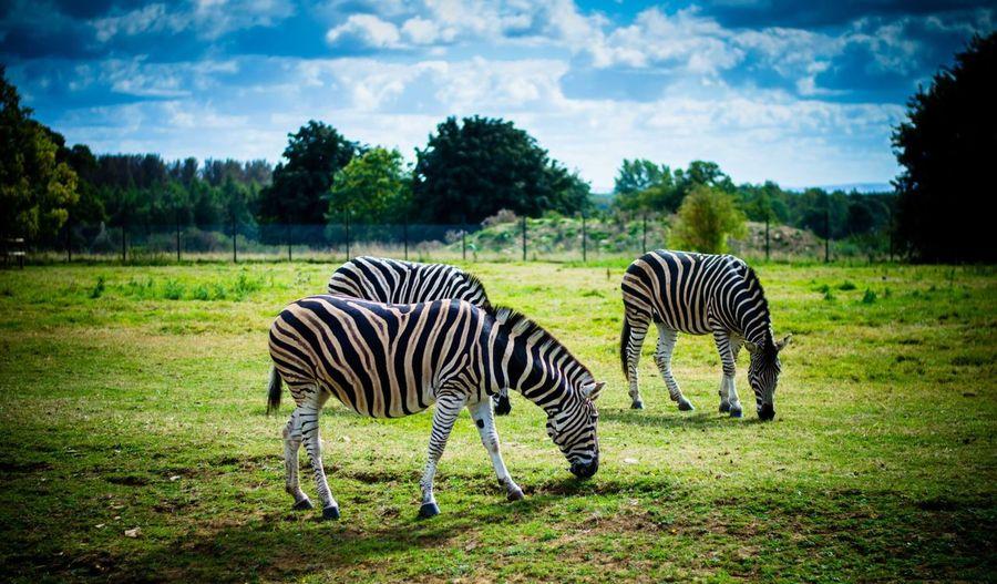 Zebras Grazing In Grassy Field