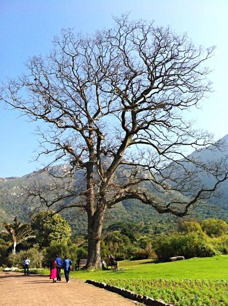 Tree Nature Capetown Cape Town Kirstenbosch Mountains Gardens Holiday South Africa Journey Adventure Tourism Beautiful Love