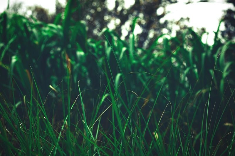 green grass Wallpaper Green Growth Nature Grass Green Color Plant Field Beauty In Nature Outdoors Tranquility No People Day Freshness