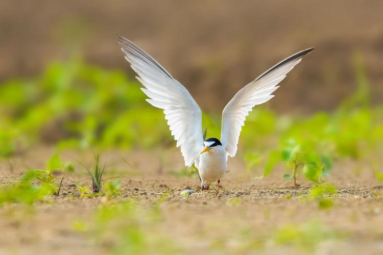 【白额燕鸥】它们成群结队来到邵伯