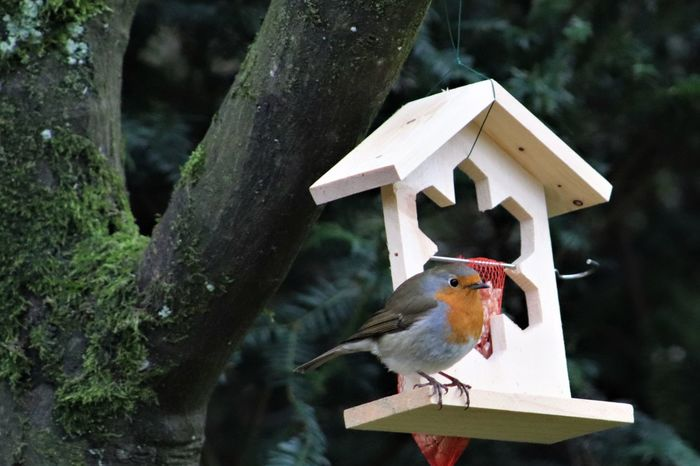 Red Robin enjoying view from the terrace while having lunch before the snow starts to fall in Belgium, Winter 2018 Belgique Belgium Rotkehlchen Winter Animal Themes Animal Wildlife Animals In The Wild Beauty In Nature Before The Snow Belgie Bird Birdfeeder Birds Close-up Day Focus On Foreground Nature No People One Animal Outdoors Perching Snow Tree Vogelhuisje Wood - Material