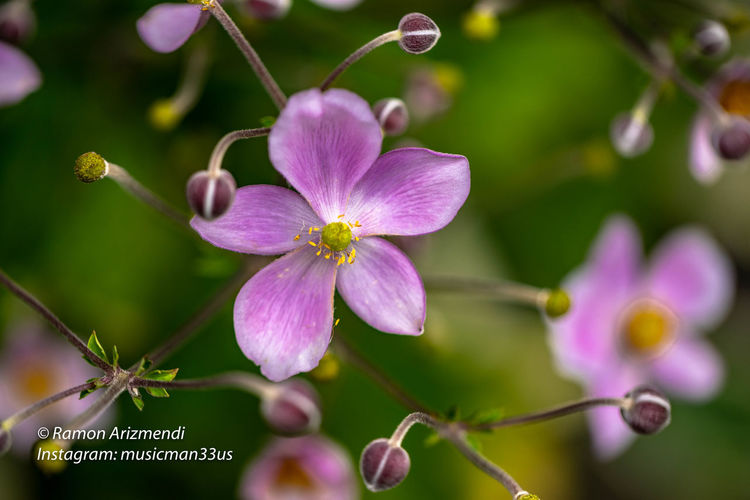 Beautiful Anemome Pink Saucer surrounded by flower buds Anemome Pink Saucer Beauty In Nature Bud Close-up Day Flower Flower Head Flowering Plant Focus On Foreground Fragility Freshness Growth Nature No People Pink Color Plant Purple Selective Focus
